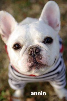 'Annin', the French Bulldog.