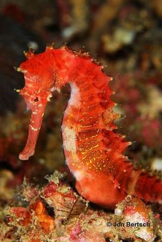 Red Sea Horse by Rinjani Beautiful red sea horse found at Taken in Puerto Galera Philippines. Beautiful red sea horse found at Taken in Puerto Galera Philippines. Underwater Creatures, Underwater Life, Ocean Creatures, Fauna Marina, Life Under The Sea, Water Animals, Wild Animals, Sea Dragon, Sea And Ocean