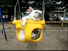 Frenchies in swings weeeeee #french bulldog