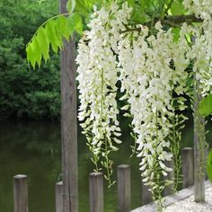 Wisteria sinensis 'Alba' (Chinese Wisteria) is a woody, deciduous, perennial climbing vine. It can grow up to 100 feet m) long over. Feng Shui, Wisteria How To Grow, Cerca Natural, Wisteria Sinensis, Chinese Wisteria, Clematis Armandii, Purple Wisteria, Wisteria Pergola, Vides