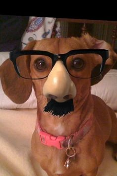 Make you laugh when you're sad | 24 Things Your Dachshund Can Do For You