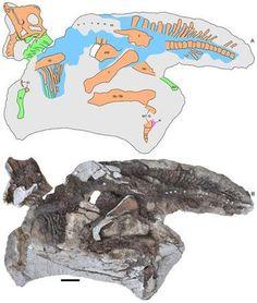 Squelette fossile bébé Parasaurolophus.
