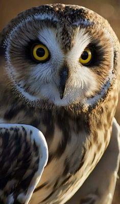 bird, owl, nature, predator, so beautiful Beautiful Owl, Animals Beautiful, Cute Animals, Gorgeous Eyes, Owl Photos, Owl Pictures, Short Eared Owl, Funny Owls, Owl Bird
