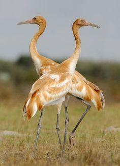 Whooping Crane (Grus americana) Twin Chicks