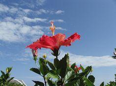 沖縄の代表的な花、ハイビスカス。
