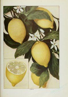 """Vintage image, lemons tree, lemons, lemon blossoms. Ward, Artemis (1911), """"The Grocer's Encyclopedia"""" ; also """"Encyclopedia of Foods and Beverages""""."""