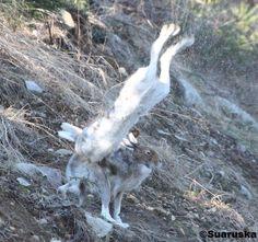 Metsäjäniksiä Goats, Animals, Animales, Animaux, Animal, Animais, Goat