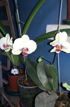 """"""" Phalaenopsis, Phal, Orquídea alevilla, Orquídea mariposa, Phaleonopsis -- Phalaenopsis spp. """" -Nombre científico o latino: Phalaenopsisspp. -Nombre común o vulgar: Phaleonopsis, Phal, Orquídea alevilla, Orquídea mariposa -Familia: Orchidaceae (Orquidáceas). -Origen: Asia. India hasta Filipinas, Indonesia y noroeste de Australia, donde habitan en selvas húmedas y cálidas, normalmente cerca de agua. -Etimología: El nombre genérico procede del griego phalaina, """"mariposa"""" y opsis, """"parecido""""…"""