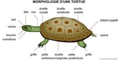Morphology of a turtle: reptile with an oval shell and a horned beak. Reptiles, Turtle Enclosure, Tortoise Habitat, Family Day Care, Pond Life, Animal Science, Turtle Love, Ocean Creatures, Tortoises