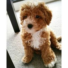 adult red and white cavapoo Google Search RareColor