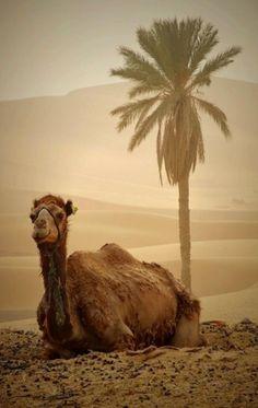 ✿⊱╮Desert Camel