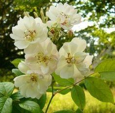 Climbing vs Rambling Roses - Ramblers