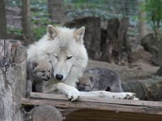 Arctic wolves - dad with his pups
