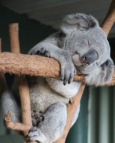 Rockabye baby on the tree top - Koala Funny - Rockabye baby on the tree top Koala Funny Rockabye baby on the tree top The post Rockabye baby on the tree top appeared first on Gag Dad. The post Rockabye baby on the tree top appeared first on Gag Dad. Nature Animals, Animals And Pets, Funny Animals, Cute Animals Images, Cute Images, Wild Animals, Funny Koala, Photo Chat, Cute Little Animals