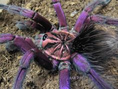 Shockingly Gorgeous Brazilian Pinkbloom TARANTULA Wows with its Purple Hue! : The Featured Creature
