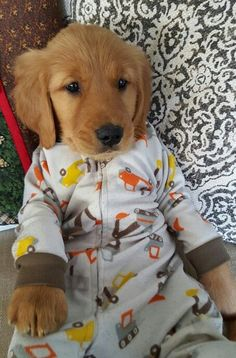 Golden Retriever puppy in pajamas pj's