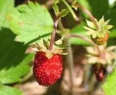 Plant Ail des ours plantes aromatiques Aromatiques Potager