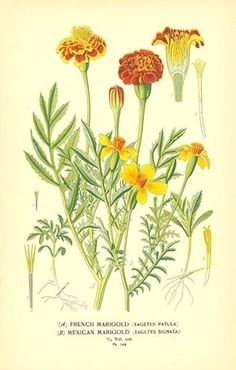Marigold Flower Drawing Mexican Marigold Tagetes patula and signata from Favourite Flowers Vintage Botanical Prints, Botanical Drawings, Botanical Art, Flower Drawings, Drawing Flowers, Illustration Botanique Vintage, Botanical Illustration, Art Floral, Academic Drawing