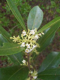Osmanthus americanus (Wild Olive): very fragrant flowers bloom in spring, 15-25 ft tal.