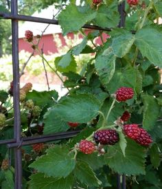 Raspberries growing thick at back of garden