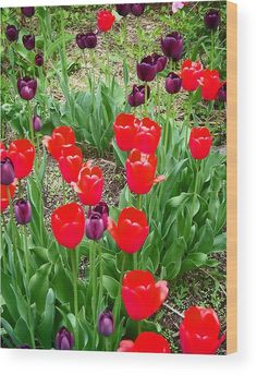 """Red And Purple Tulips Wood Print by Aimee L Maher Photography and Art Visit ALMGallerydotcom. Bringing this artwork to life with the texture and added depth of a wood print. This image gets printed directly onto a sheet of 3/4"""" thick maple wood. There are D-clips on the back of the print for mounting it to your wall using mounting hooks and nails (included). SHIPS WITHIN 2 - 3 business days. #wallart #homedecor #interiordesign #flower #floral"""