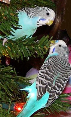 That Bird Blog - Budgerigar pair