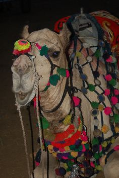 Decorated camel for sale at the Pushkar Camel Fair in India. All of the animals were dressed in their finest.
