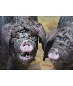 At the Tierpark Zoo in Berlin, Germany, two Meishan pigs stand in their enclosure. So unique-looking!