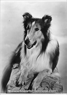 The famous dog, Lassie, who appeared in many children's adventure films. A number of dogs appeared in the role of Lassie over the years, though the public never seemed to spot the difference. Rough Collie, Collie Dog, Collie Puppies, Pet Dogs, Dogs And Puppies, Doggies, Dog Films, Famous Dogs, Adventure Film