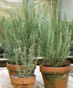 Good tips on growing rosemary.