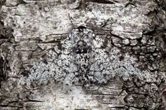 Peppered Moth {Biston betularia}, camouflaged on birch tree bark. Reptiles, Peppered Moth, Camouflage, Orchid Mantis, Dark Wings, Wild Ones, Science And Nature, Mother Nature, Habitats