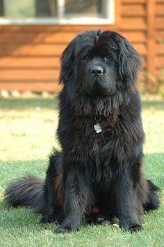 Newfoundland dogs, I've always wanted one!