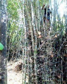 Memanjat pohon bambu dalam sesi workshop performance di plesungan studio 2014 lalu .. Ternyata saya menyimpan dokumentasinya.. Saya lupa yang memotret ini siapa ya... #intuisipastimenang