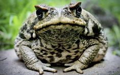 Invasion Of Tiny Poisonous Toads Pose Danger To Children and Pets