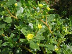 Purslane Seeds - Green
