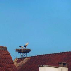 Les cigognes d'Alsace  Oberschaeffolsheim France  . . . . . #cigogne #alsace #bird #nature #oiseau #strasbourg #birds #photography #france #naturephotography #travel #oiseaux #nid #cigüeña #love #photo #vogel #naturelovers #animal #art #cigognes #nest #picoftheday #cicogna #voyage #photooftheday #welovealsace #alsacetourisme #summer #animals