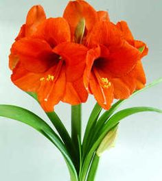 Amaryllis Orangeness. This is what my husband brings me when he surprises me with flowers.