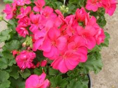 Fantasia Violet Zonal Geranium - Most heat tolerant geranium plants ever grown in Texas - Ball Horticultural Company