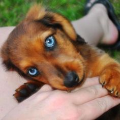 I ❤ dachshunds