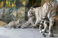 A female White tiger (Panthera tigris) named Shilang and her cubs are seen after a medical examination by veterinary surgeons at Bratislava Zoo February 8, 2013. The three white tiger cubs, a male named Adzaj and two females Adisa and Asira were presented to the media for the first time on Friday. REUTERS/Radovan Stoklasa (SLOVAKIA - Tags: ANIMALS SOCIETY