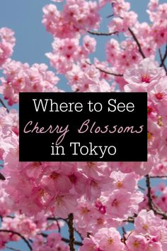 """Where to See Cherry Blossoms in Tokyo // A visit to Ueno Park, one of the best places in Tokyo to see spring cherry blossoms. It's a popular site for """"hanami"""" cherry blossom viewing parties and a lovely place for a spring stroll among the colorful sakura."""