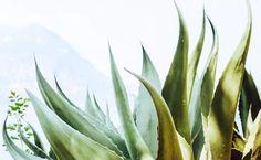Aloe juice benefits  http://www.care2.com/greenliving/aloe-vera-juice-benefits.html