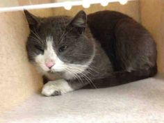 NYC **Great Big Character** TO BE DESTROYED 04/07/15 CHEWIE was displaying conflicted behavior, did not come to the front of the kennel but interacts with the Assessor, Appreciates attention. ID #A1031501. Male blue & white about 2 YEARS old. STRAY. I came in with Group/Litter #K15-008212. https://www.facebook.com/nycurgentcats/photos/a.985417831476204.1073742647.220724831278845/985417958142858/?type=3&theater