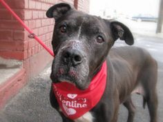 TO BE DESTROYED THUR, 2/13/14- Senior- Brooklyn Center  OTTO - A0990834....MALE, BLACK / WHITE, PIT BULL MIX, 7 yrs. Nice on the leash and seems house trained. This older guy needs someone to love him since he's a Sweet boy with lots of love to give!