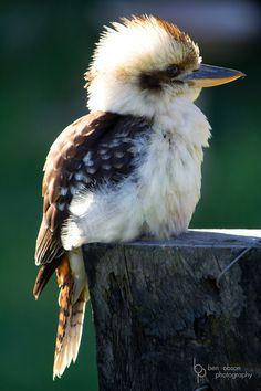 Ever wonder what a Kookaburra looks like? Here it is! #australia #kookaburra #birds via YankInAustralia