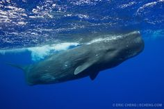 Trip Report: sperm whale expedition to Ogasawara, Japan   Eric Cheng's Journal