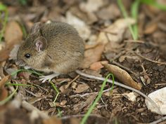 Wood mouse. A study in Spain found that wood mice populations were booming near roads--perhaps because potential predators were scared off by traffic?
