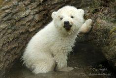 Photo 14 weeks old Polar Bear Cub by Shahow Wali