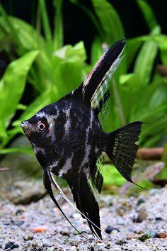 angelfish Tropical Fish Aquarium, Freshwater Aquarium Fish, Tetra Fish, Fresh Water Tank, Water Life, Angel Fish, Beautiful Fish, Cichlids, Going Fishing