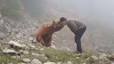 Bildergebnis für hochland rinder Highland Cattle, Bison